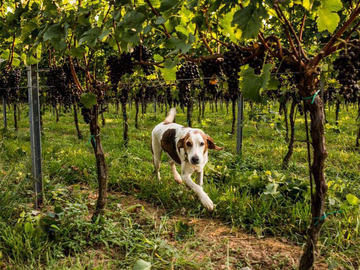 early_mountain_vineyard_dog.0.0.jpeg