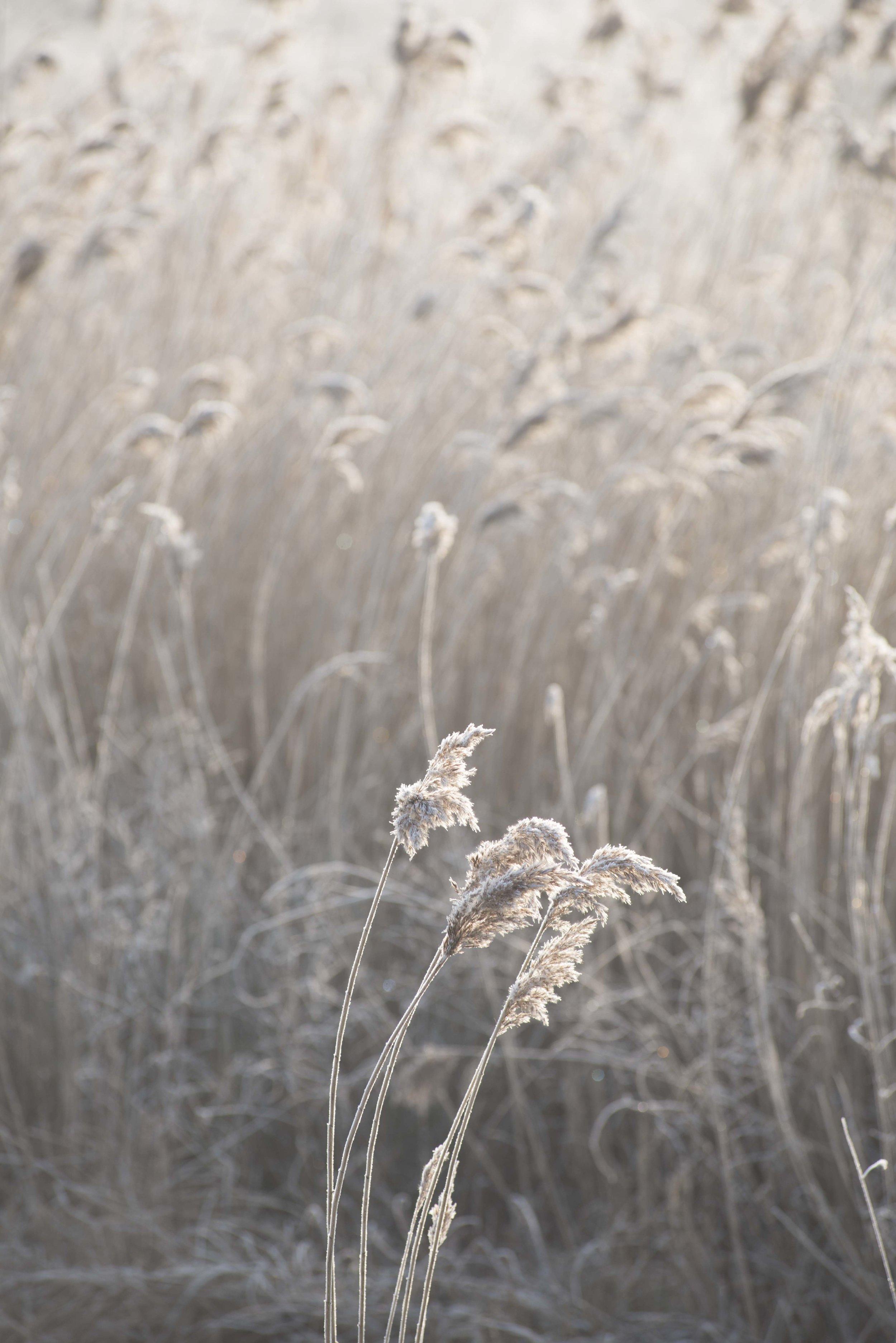 Reeds on winter morning for web.jpg