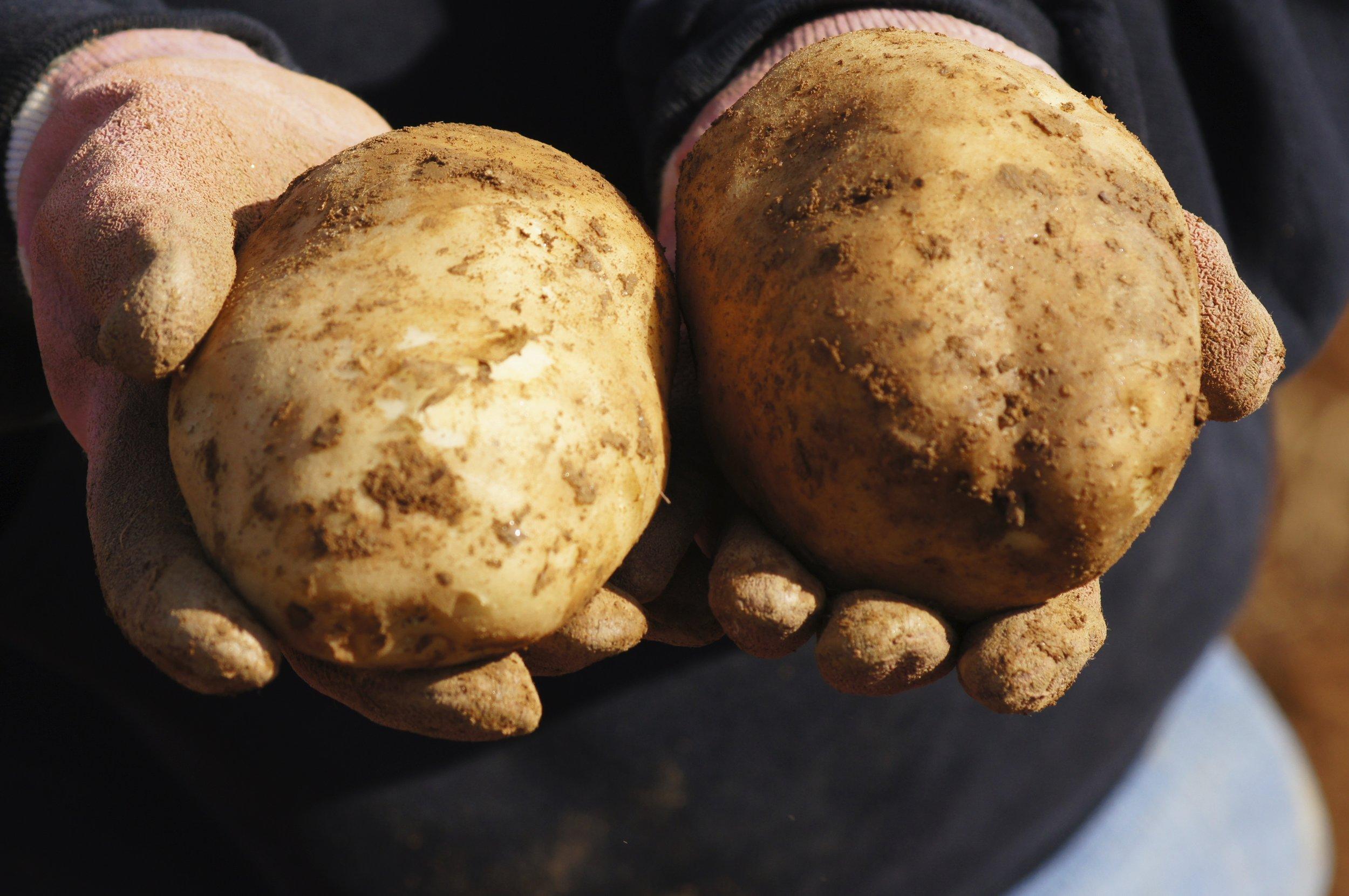 potatoes after harvest