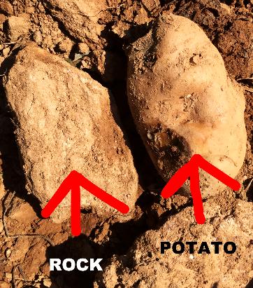 is it a potato or a rock?