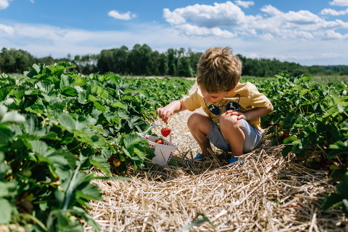 strawberry picking jones family farm - by laura barr photography