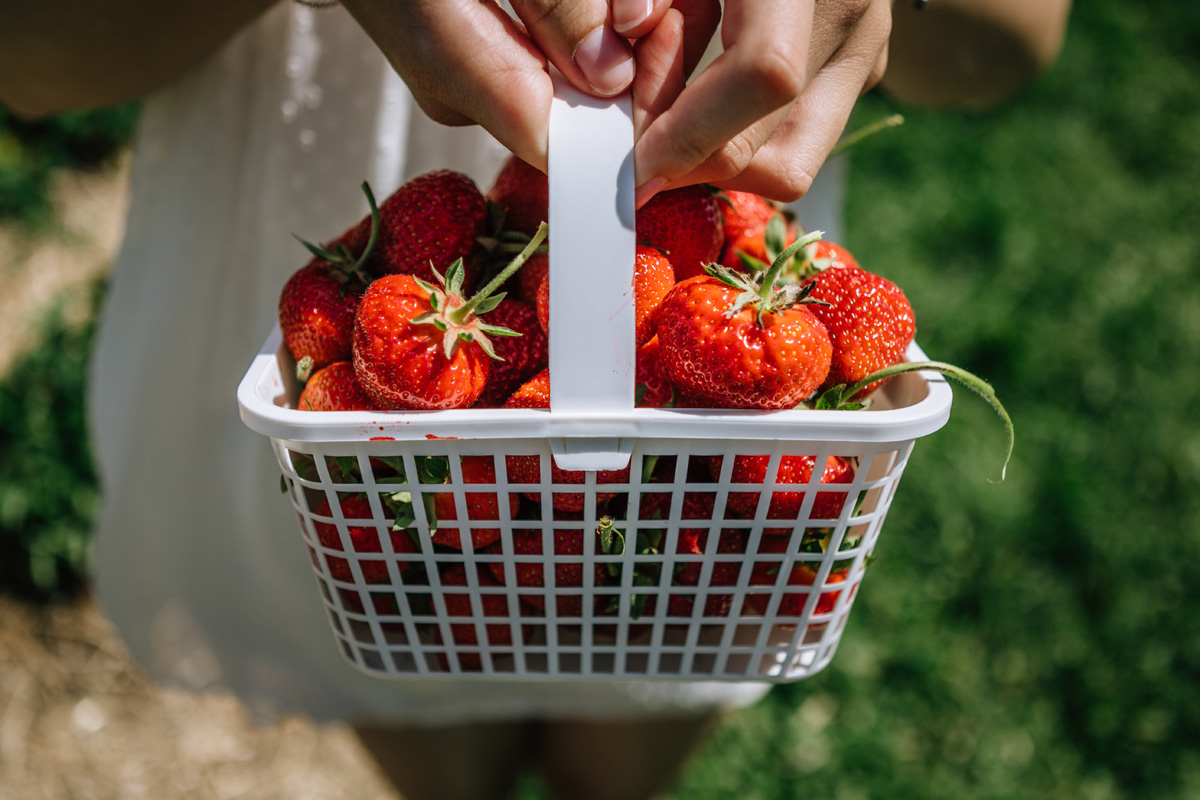 strawberries jones family farms CT by laura barr photography