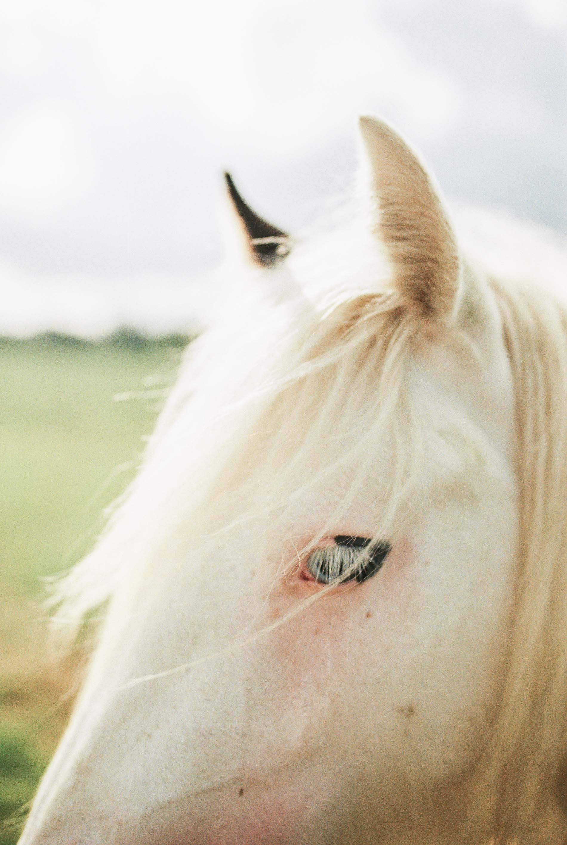 irish horse by laura barr photography