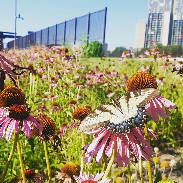 Breakfast.  #urbanmeadows #pollinators #urbanecology #swallowtailbutterfly #echinacea #landscapearchitecture #landschaft #urbanflora #urbanhabitat