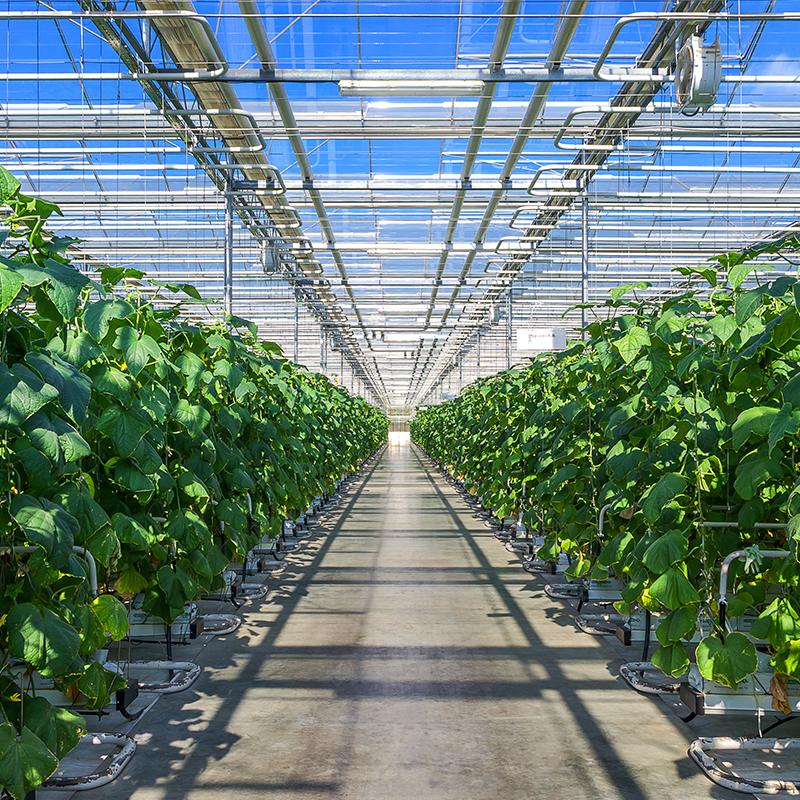 green leaf plants growing inside greenhouse with clear blue sky outside