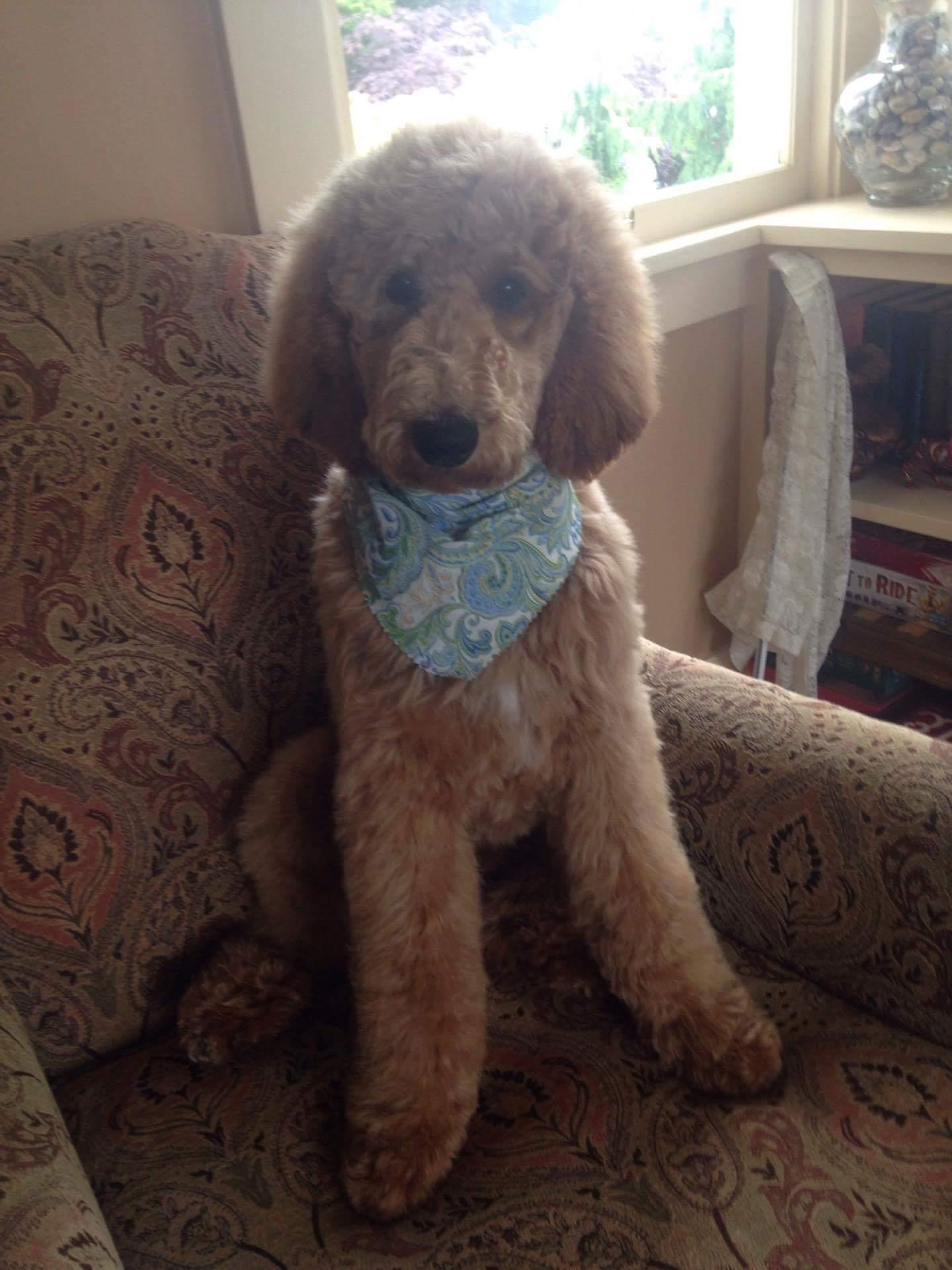 Red Standard Poodles Blog Dala Farms