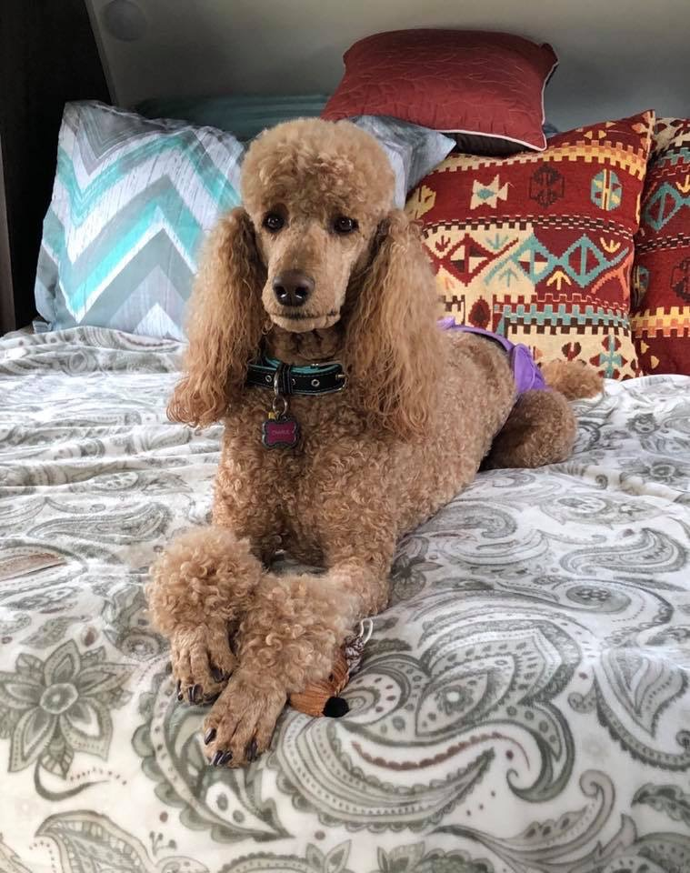 Red Standard Poodles Blog Dala Farms