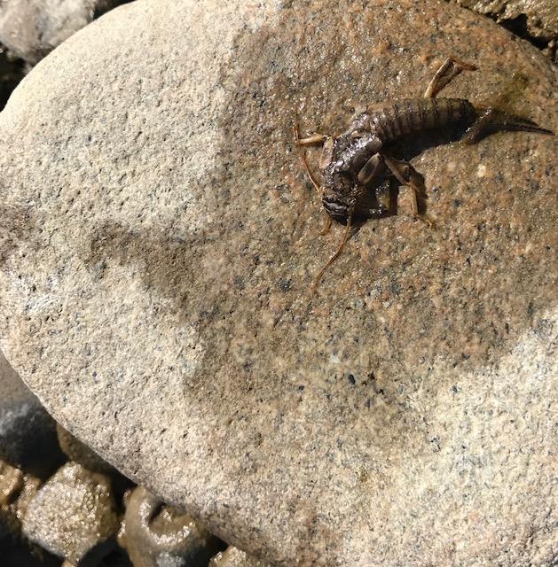 Stonefly Shuck.jpg