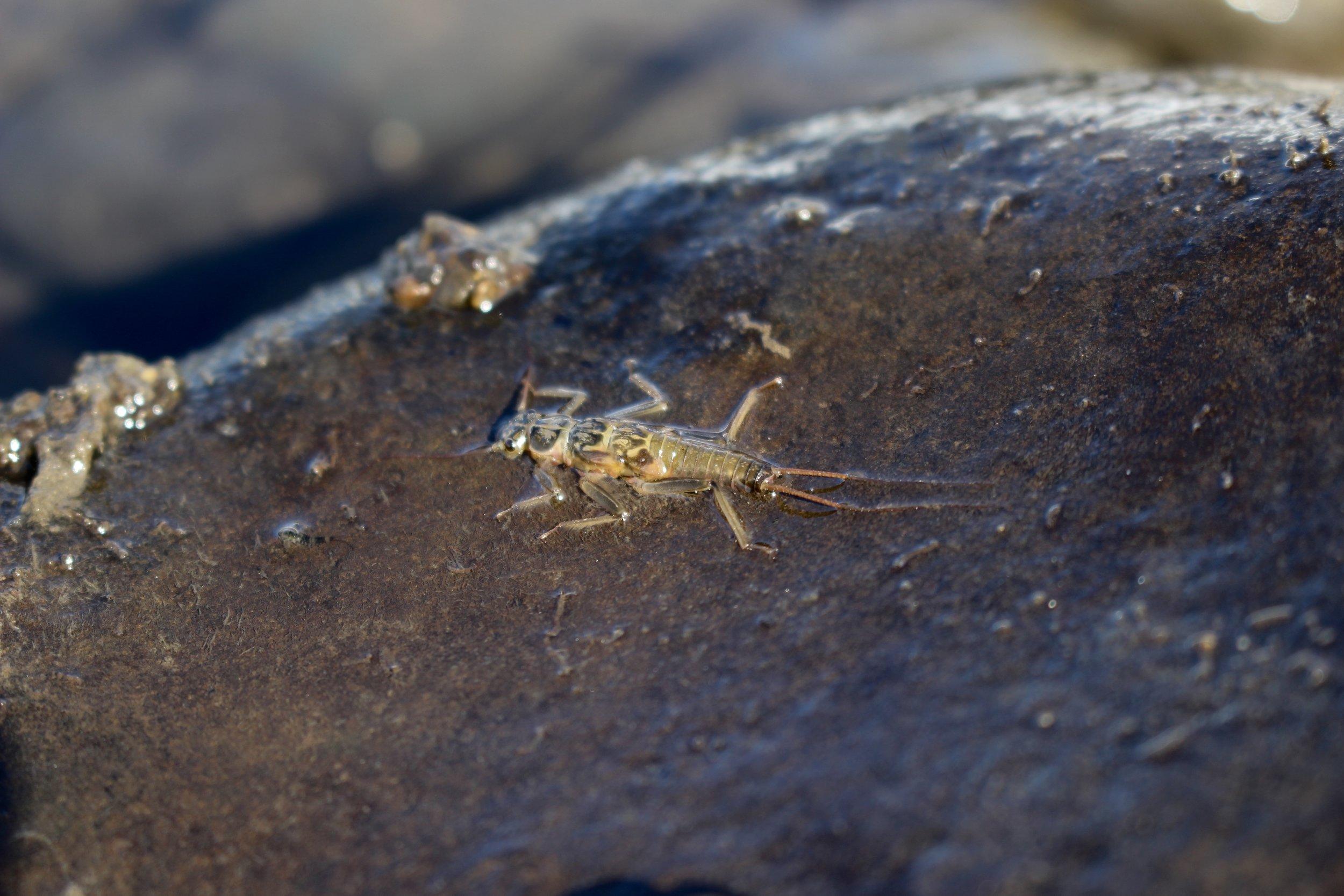 SkwalaStonefly
