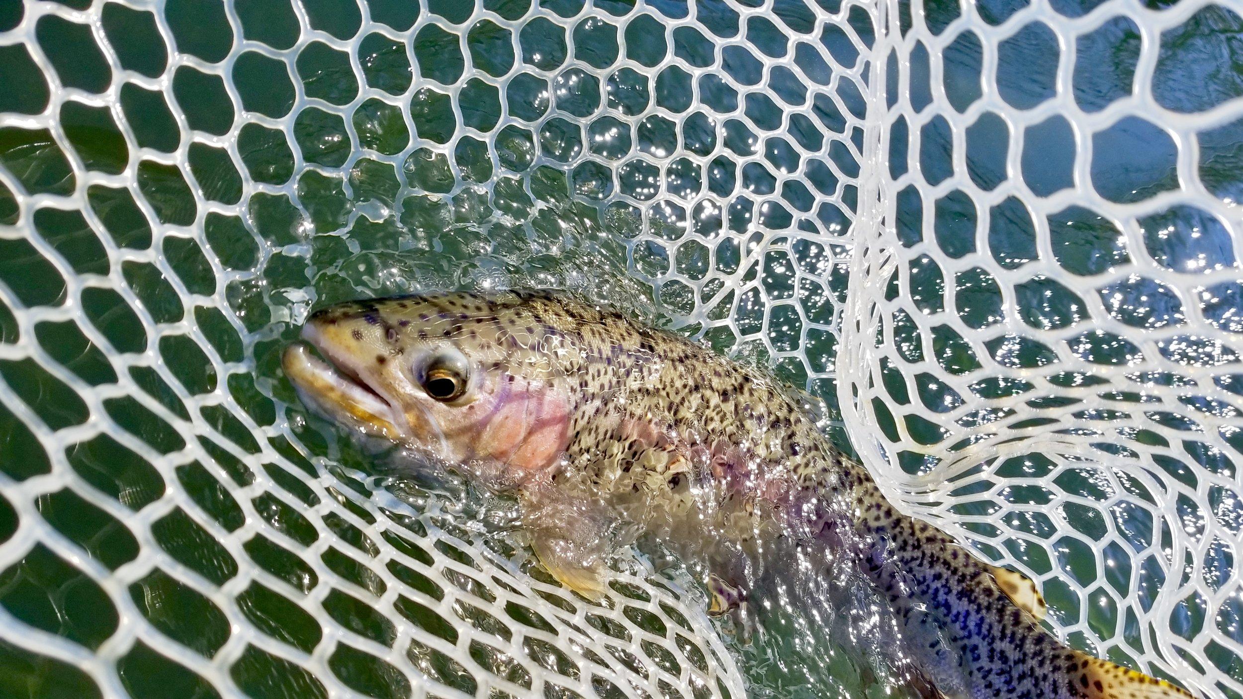 Yakima River Rainbow Trout