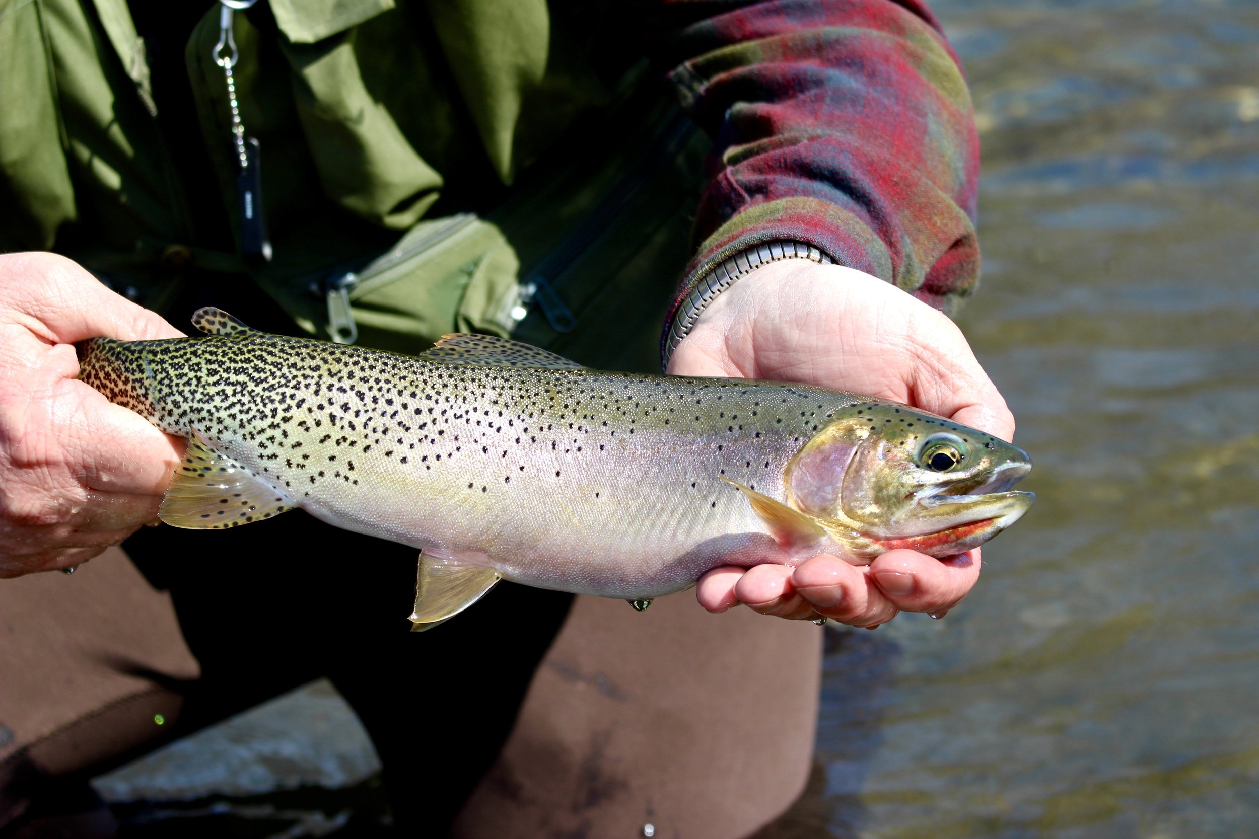 Yakima River Cutthroat Trout