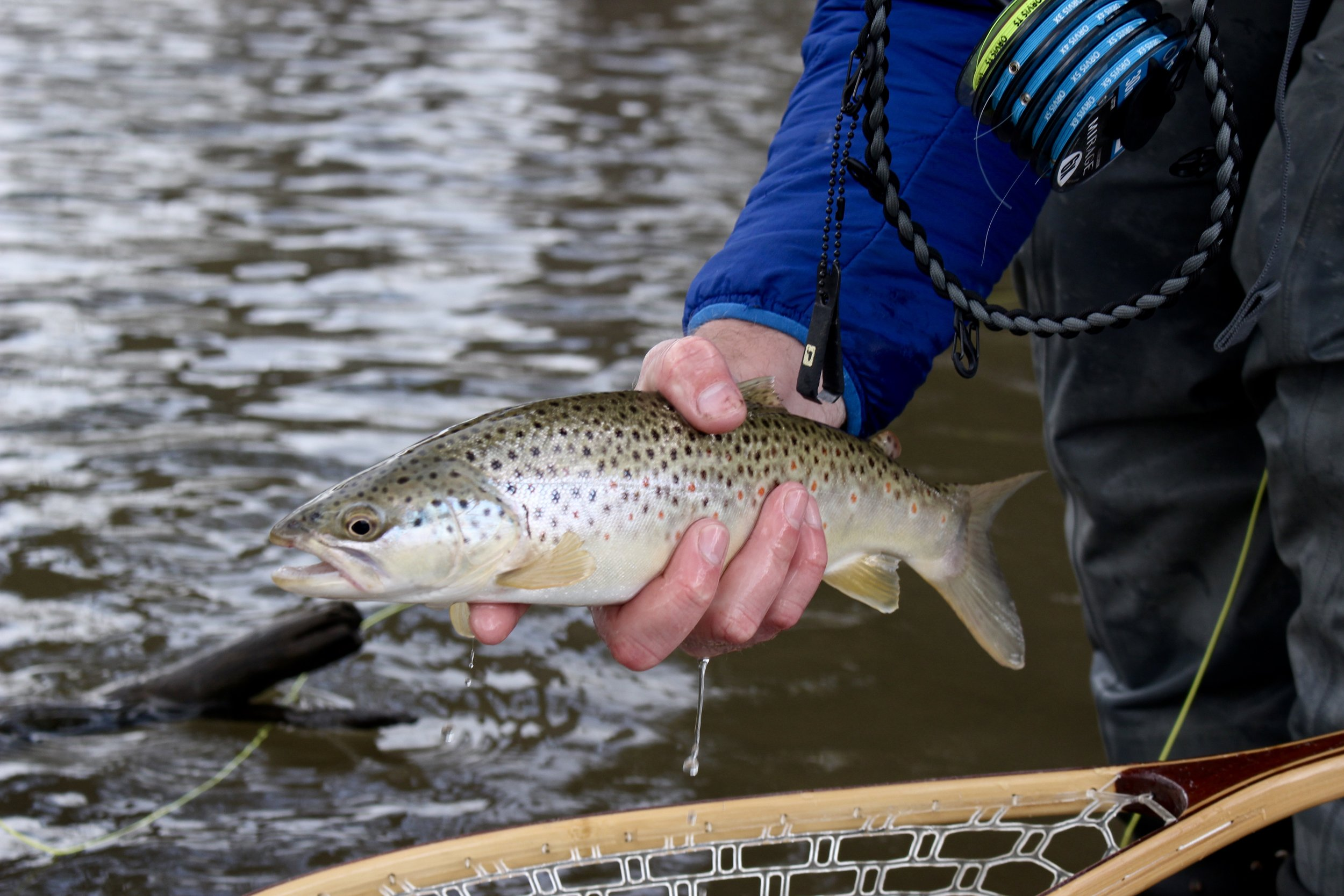 Brown Trout on the Bitterroot River