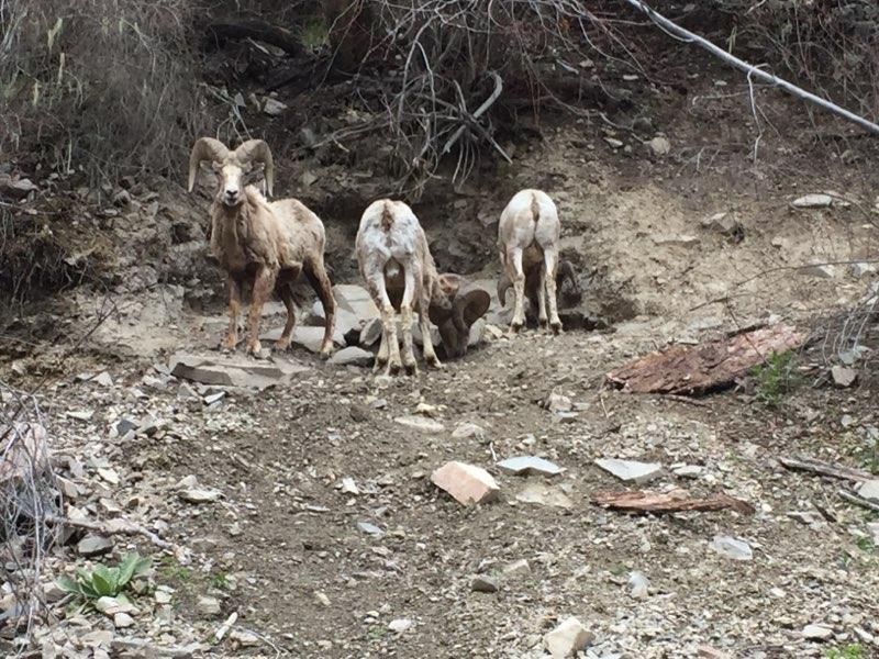 Bighorn sheep on Rock Creek