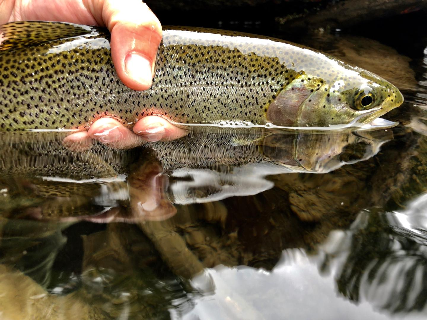 Cedar River Searun Cutthroat Trout