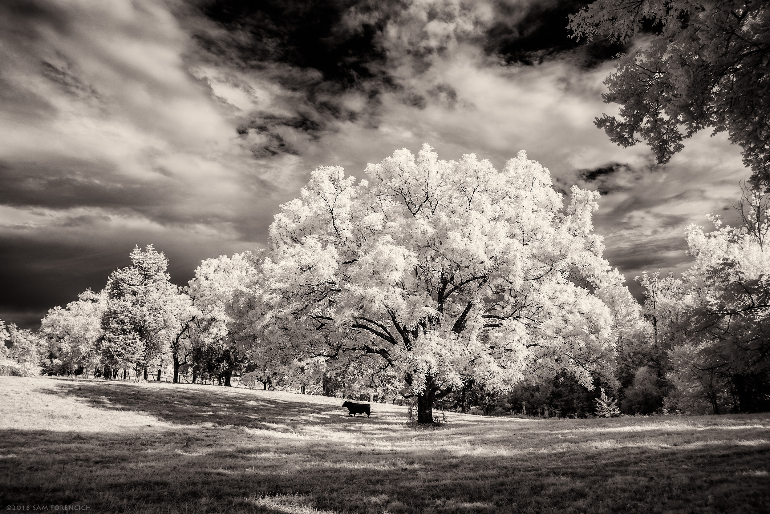"""A lone cow finds shade under a black walnut tree during a hot August day in Somerset Virginia. IR converted Nikon D750 with 850nm """"deep infrared"""" filter.  © 2016 Sam Forencich"""