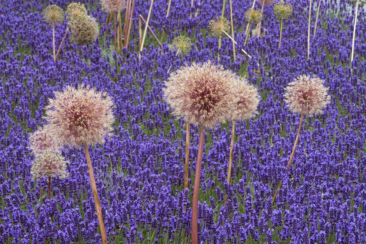 lavender field S.jpg