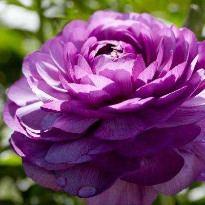 van-zyverden-flower-bulbs-21561-64_400_compressed.jpg