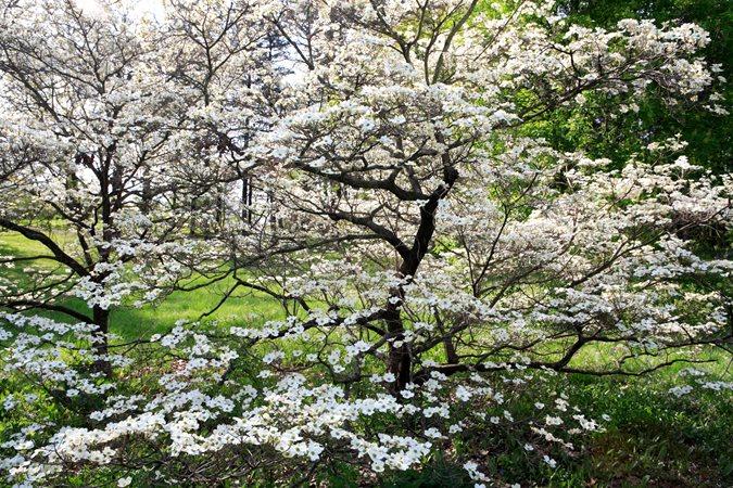 cornus-florida-cloud-nine-flowering-tree-dogwood-alamy-stock-photo_12280.jpg