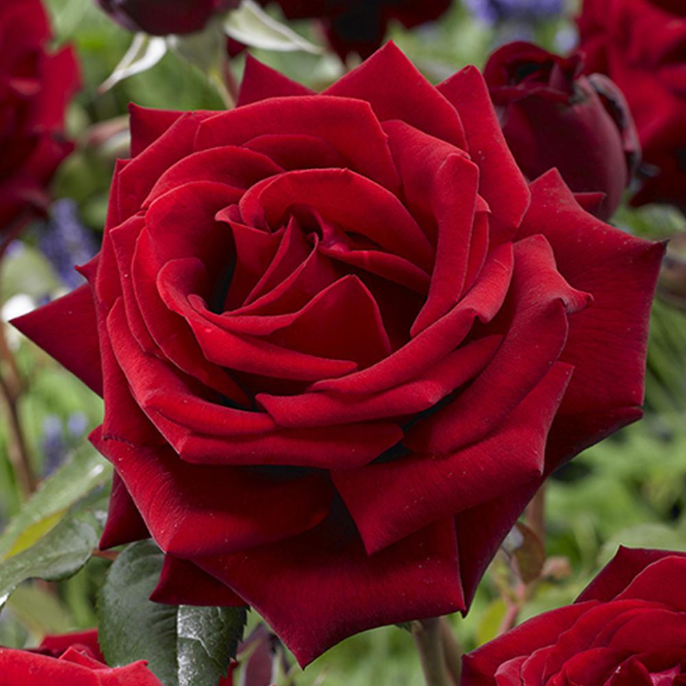 mea-nursery-rose-bushes-62014-64_1000.jpg