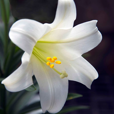 easter-lily_290.jpg