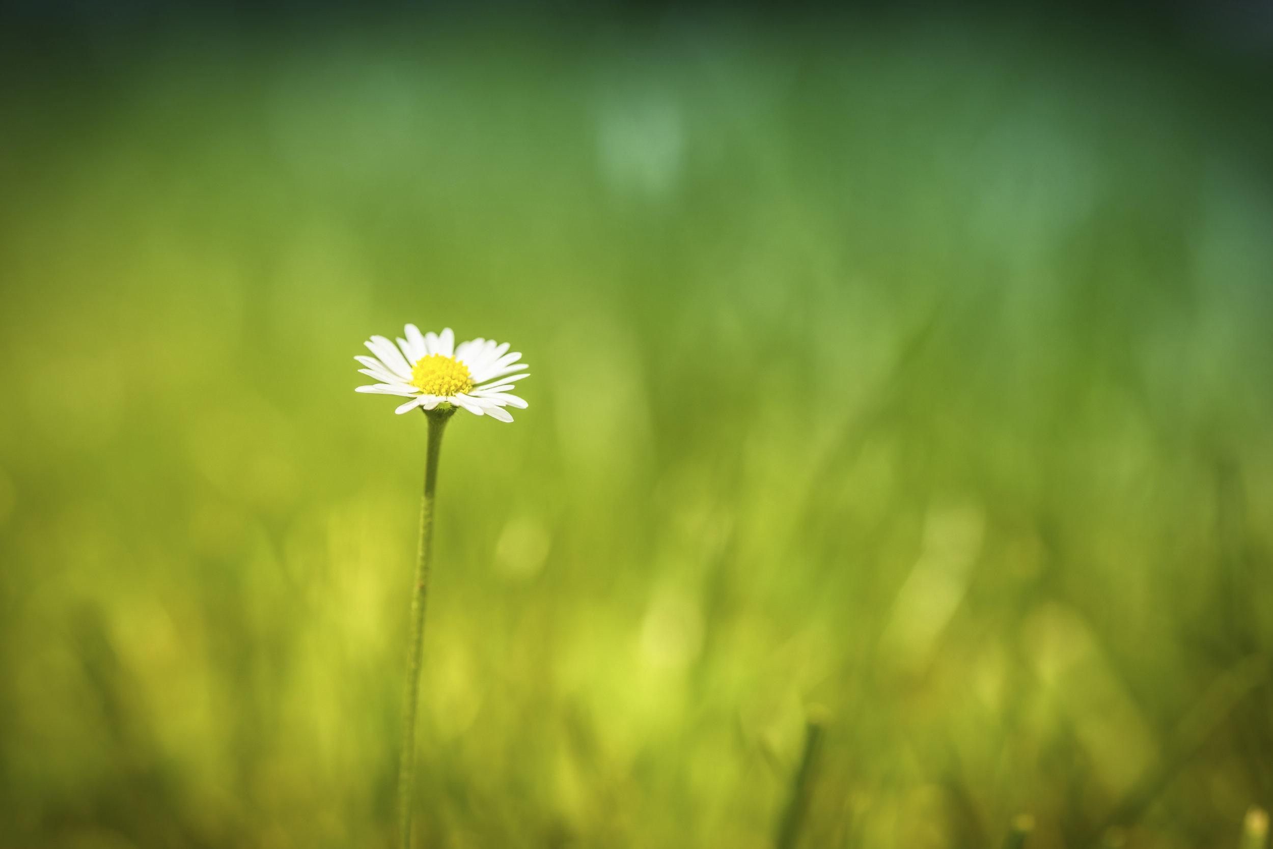 spring-daisy.jpg