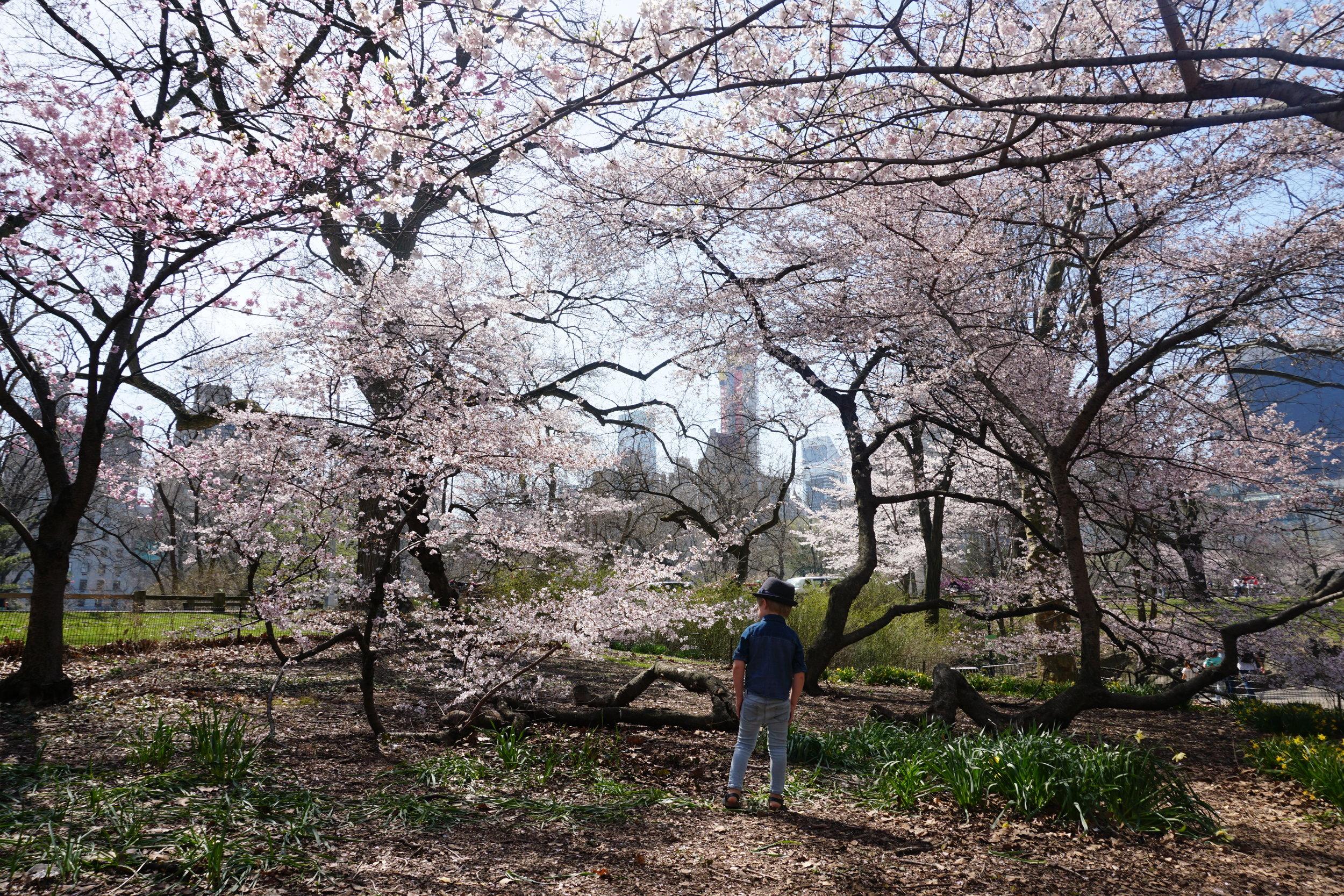 Central Park Cherry Blossoms.JPG