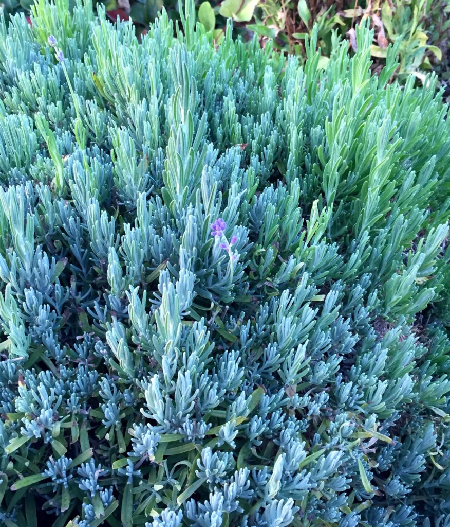 Garden lavender.jpg