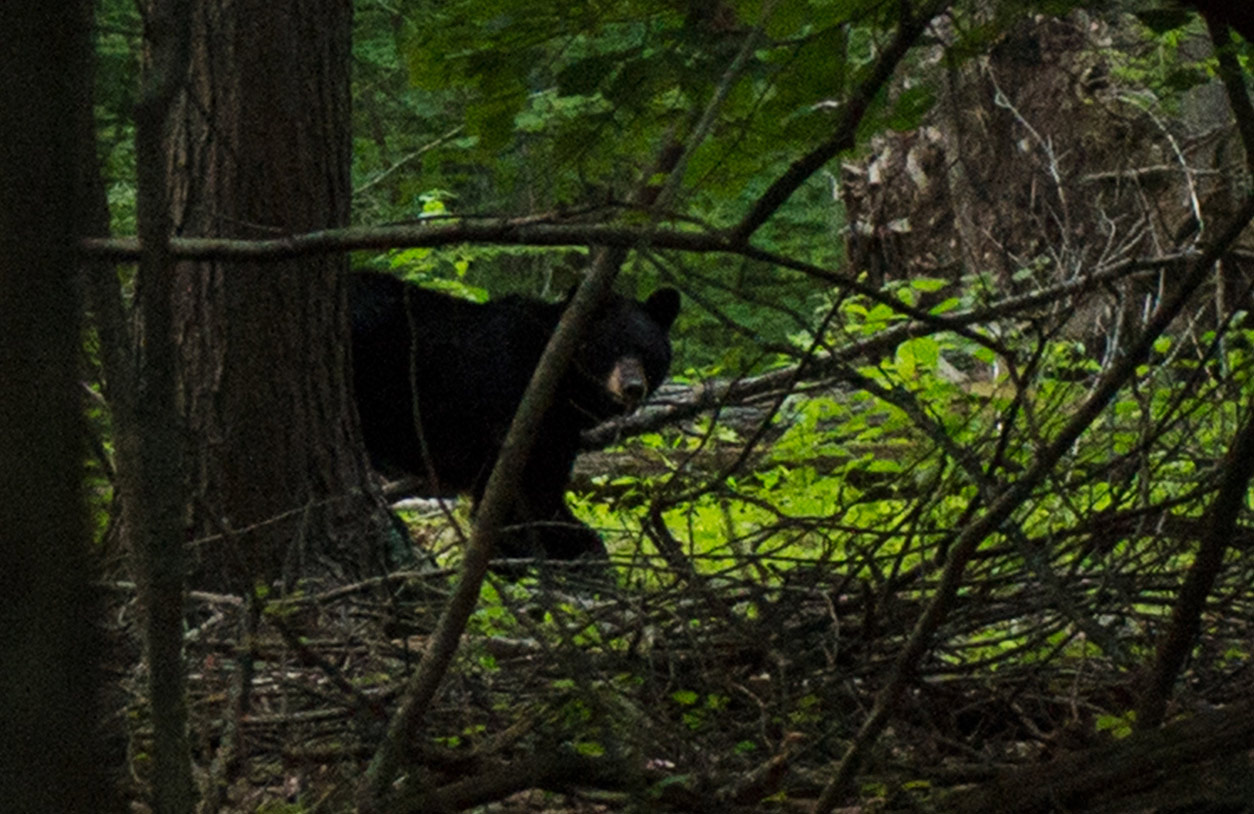 Bear are native to the forest that surrounds Alex's home and workshop