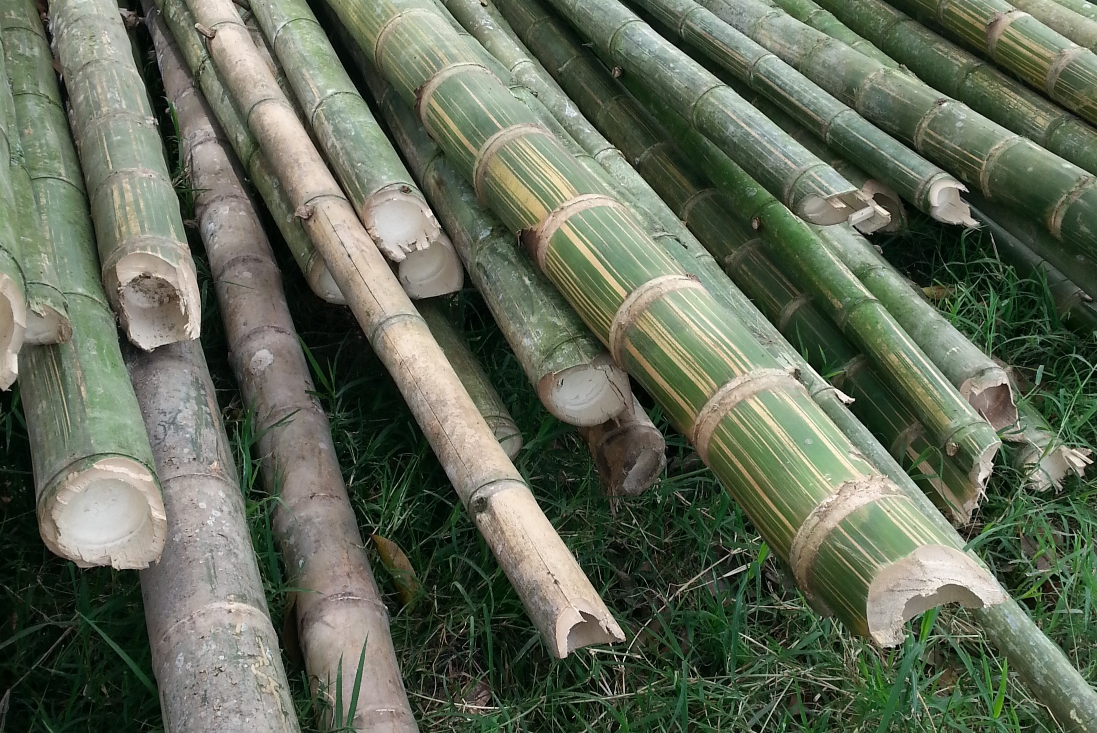 Cool facts... - Bamboo is one of the world's most sustainable resources, of out more than 1000 species, Colombia has over 100, being one of them Guadua (Angustifolia kunth). It is one of the fastest growing plants on the planet. It can be harvested annually and will then regenerate itself from the roots, replacing the crop naturally without the need for replanting or crop rotation. Because bamboo is a grass and not a tree, it can grow a full meter a day and fast maturing, after about 3 or 6 years, depending on the species. Its tensile strength makes it a good construction material, and it is also used for furniture, flooring and textiles, among other things.