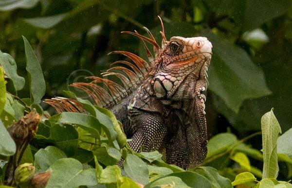 Black Spiny-tailed Iguana.jpg
