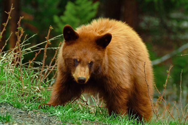 Yellowstone Black Bear Cub.jpg