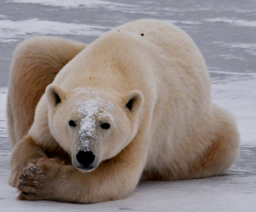 Polar Bear Female5531.jpg