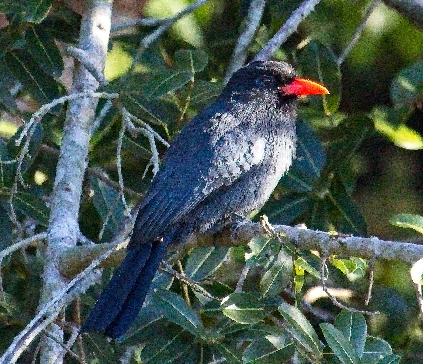 Black-fronted Nunbird_6873