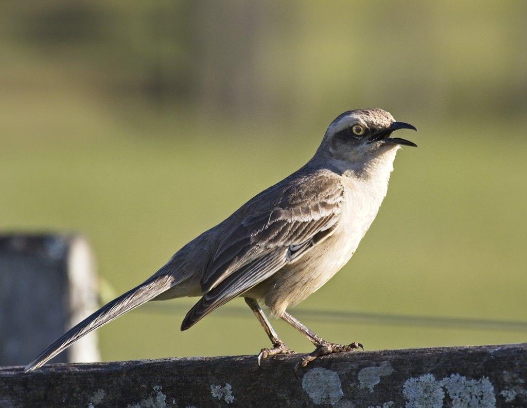 Chalk-browed Mockingbird0387