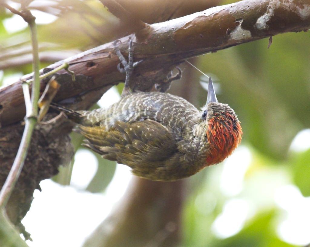 Little Woodpecker4352