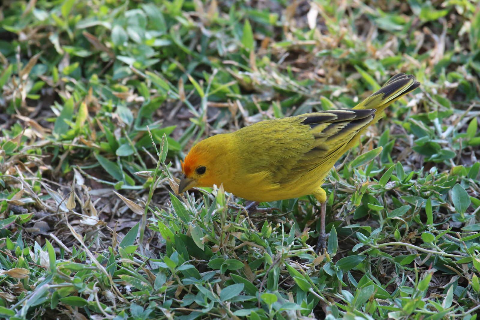 Saffron Finch1701