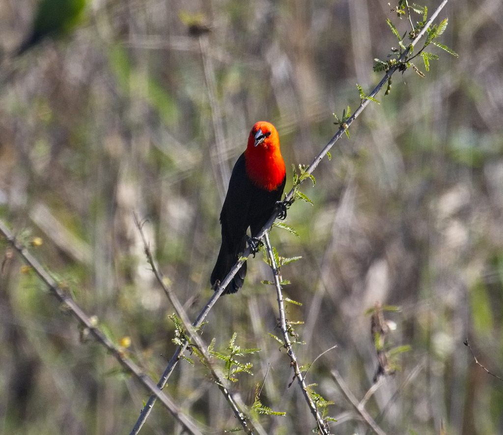 Scarlet-Headed Blackbird1727