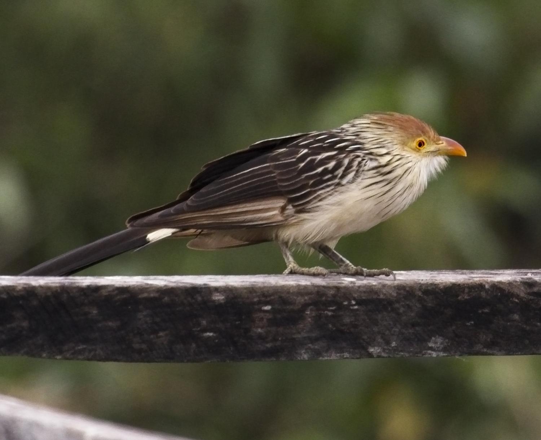Yellow-billed Cuckoo4798