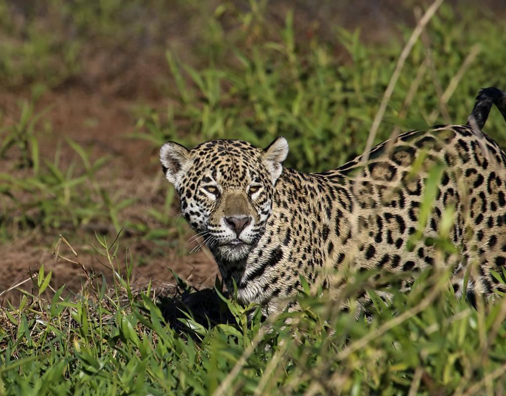 Jaguar6780_1.jpg