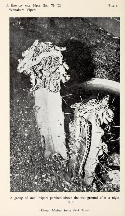 Small Vipers,  Journal Bombay Natural Hist. Society , 1973