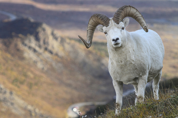 Denali Sheep