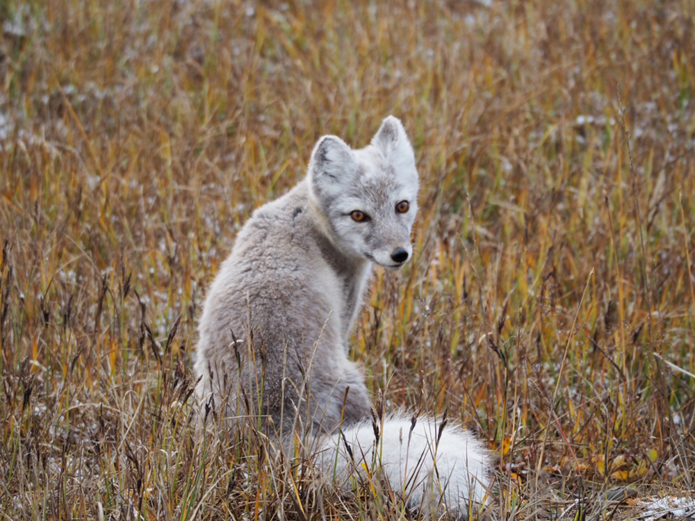 Arctic Fox in Summer Pelage