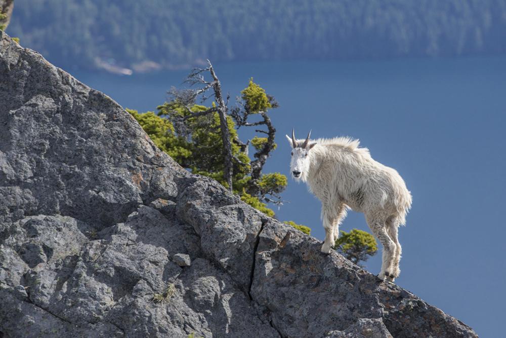Olympic Goat