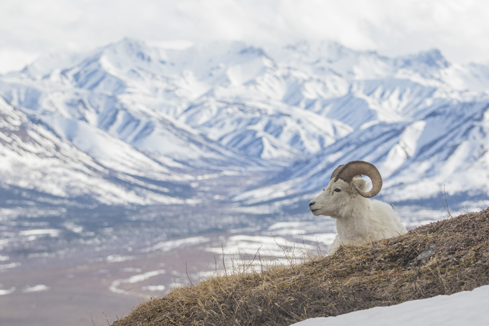 Denali Sheep