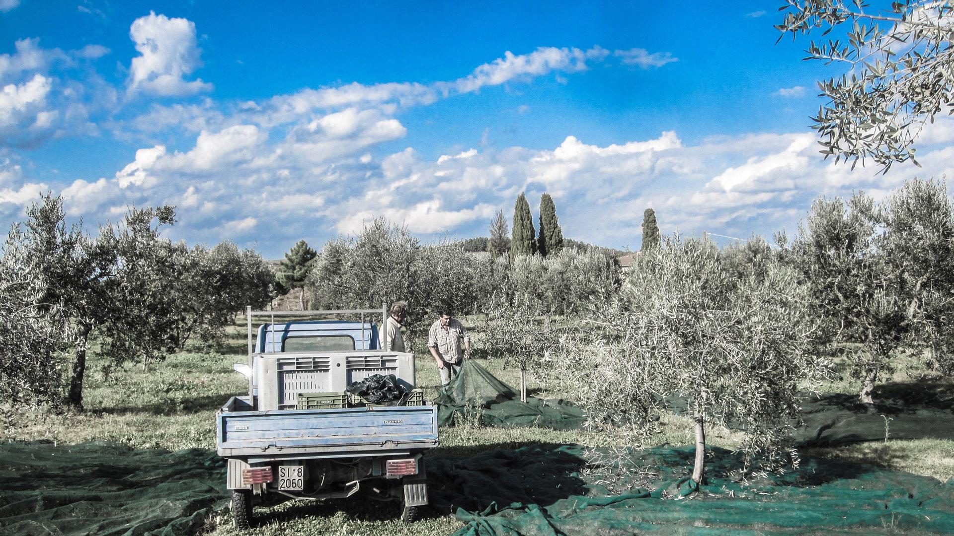 Official olive transport during the harvest!