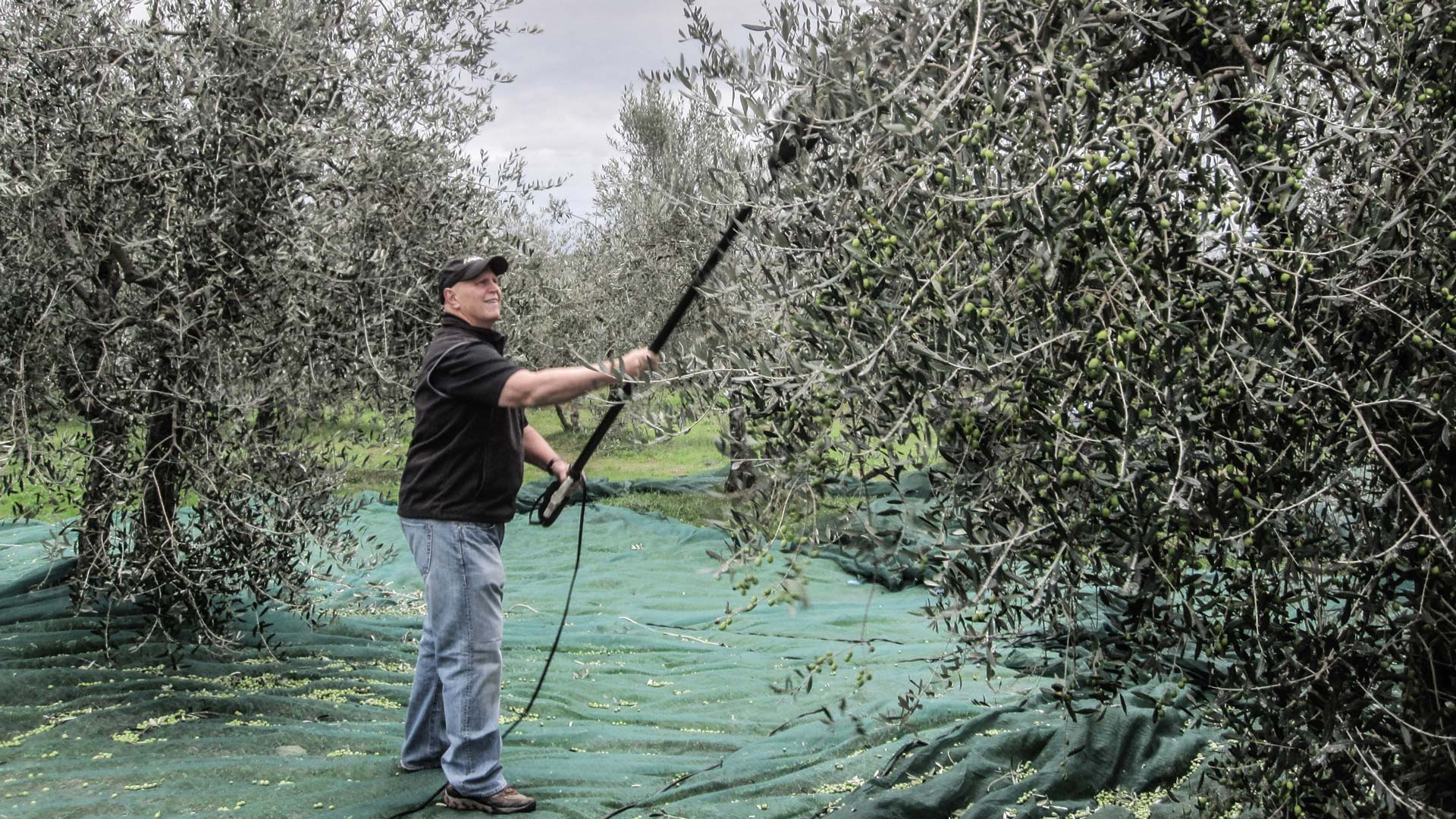 Manual harvest of our olives
