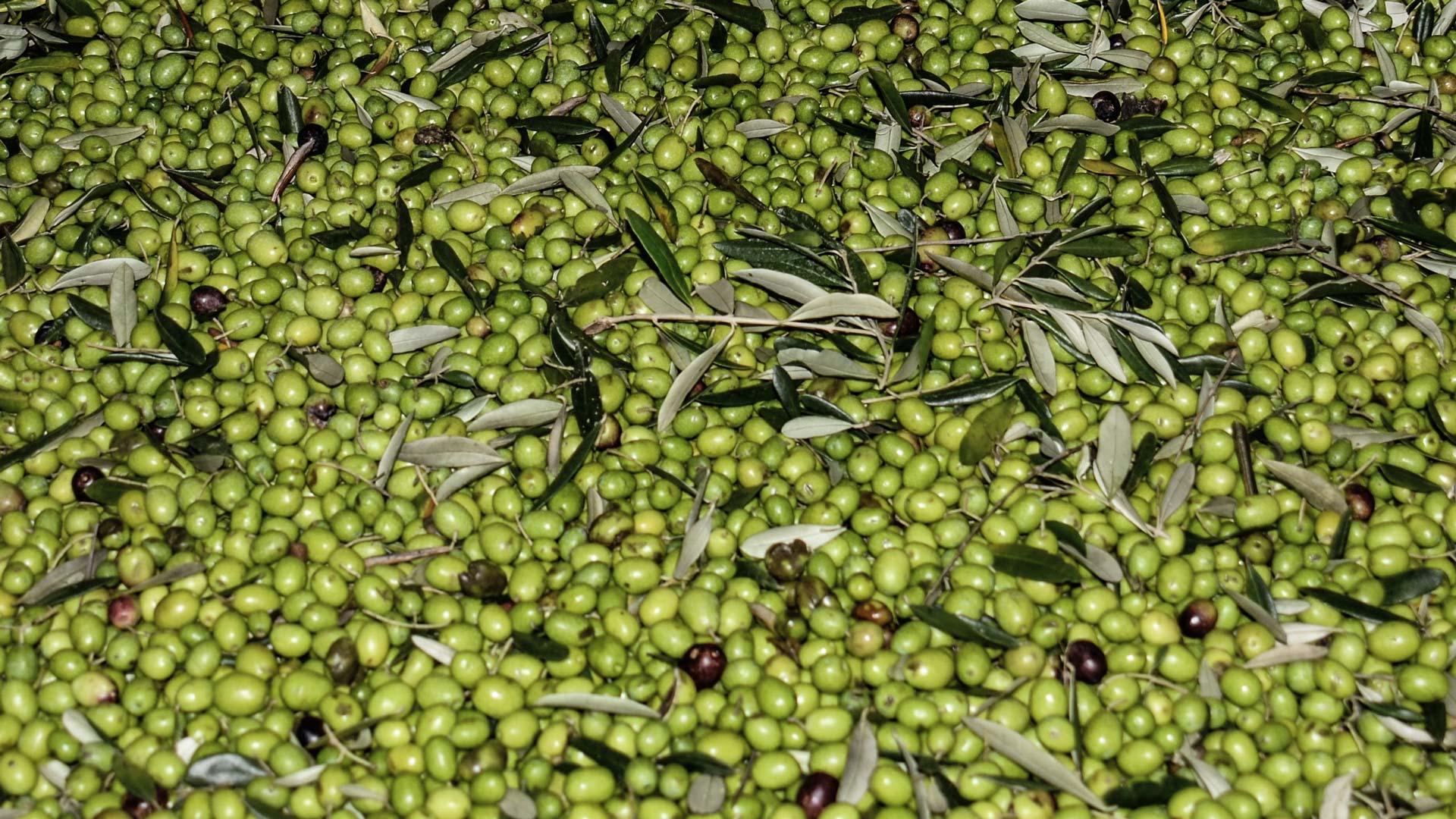 Freshly harvested Tuscan olives