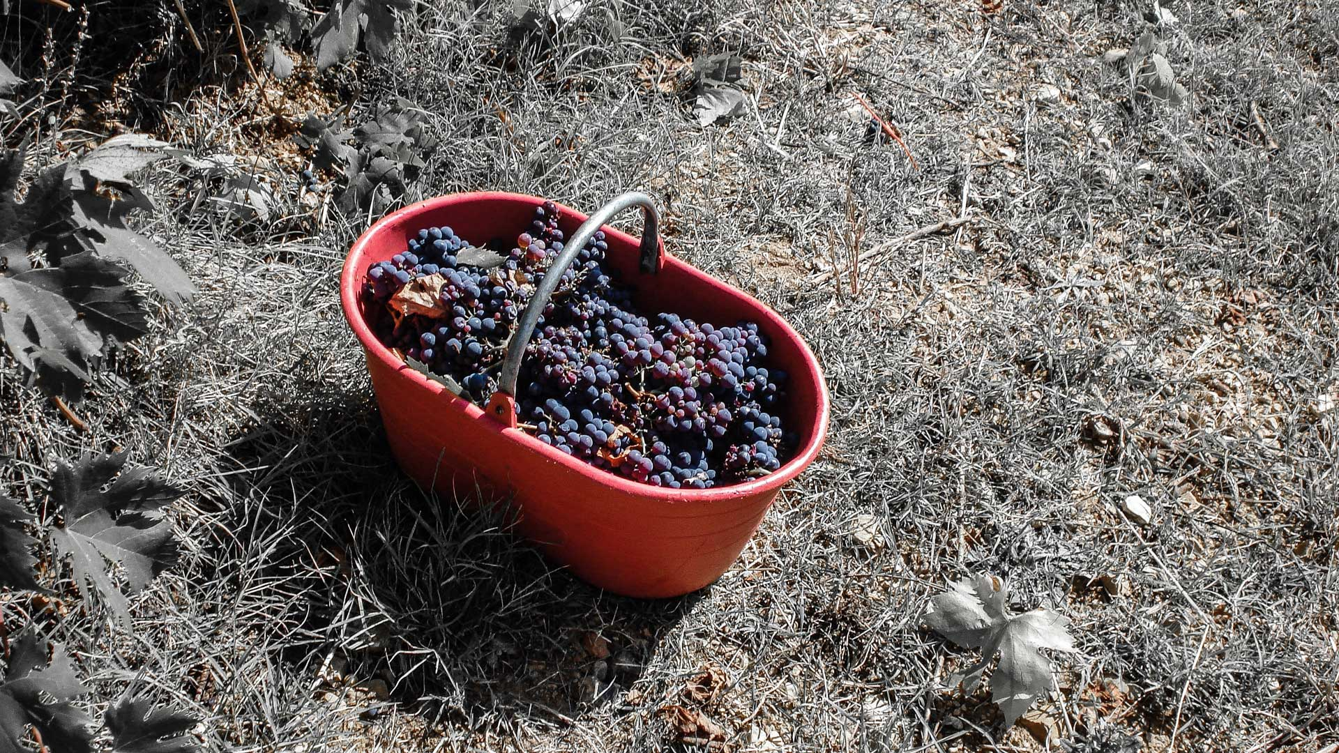 Copy of Harvested grapes