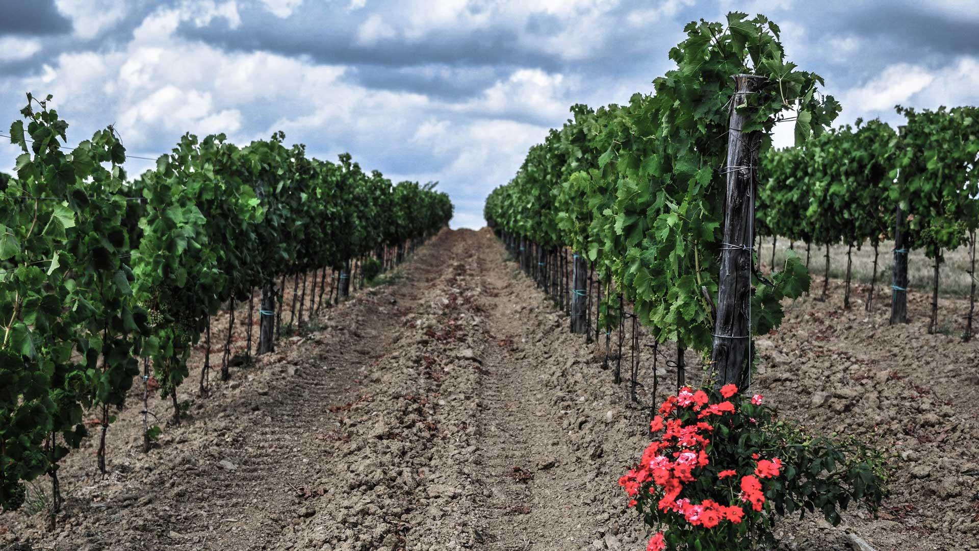 Copy of Vineyards in Spring