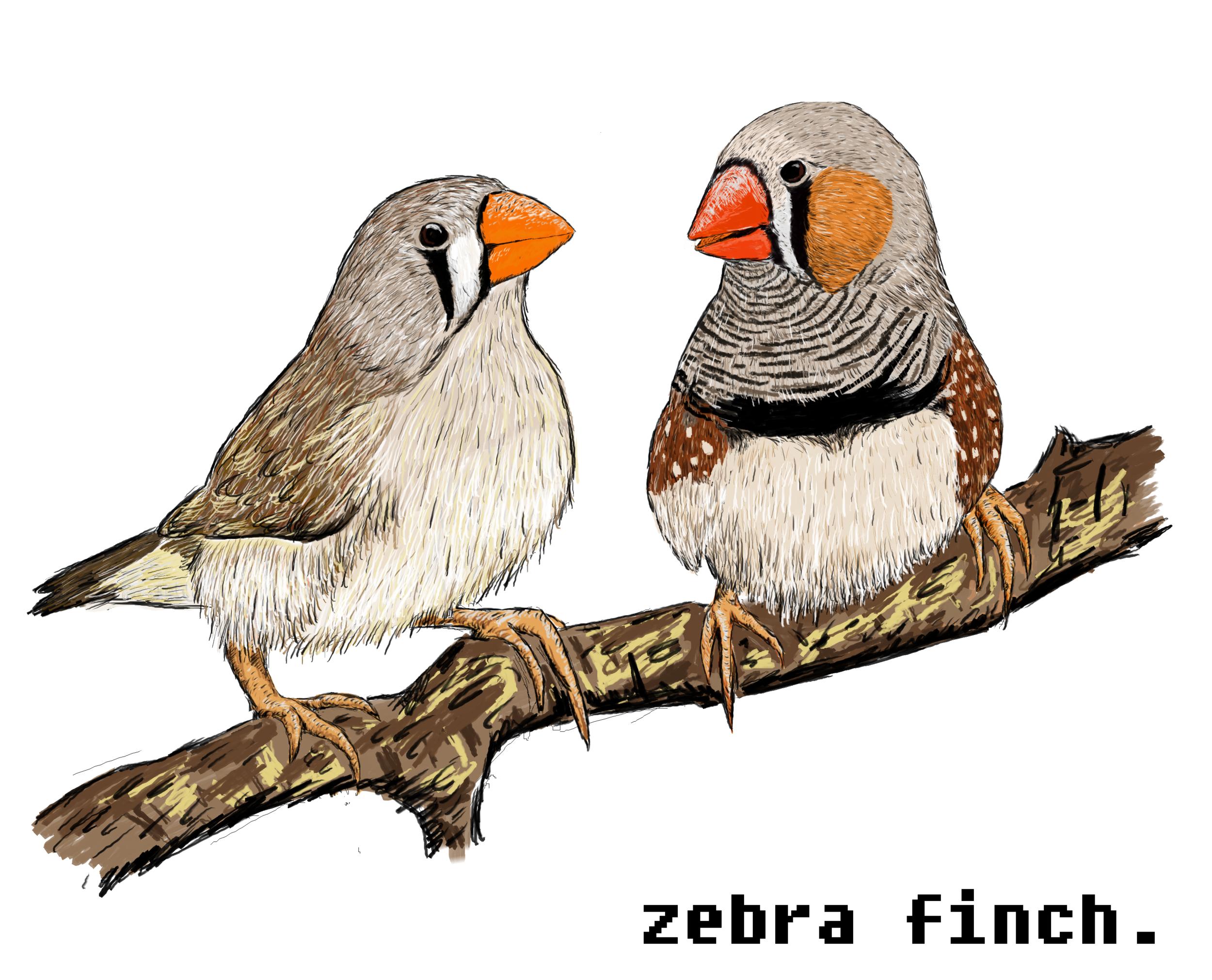 zebra finches.png